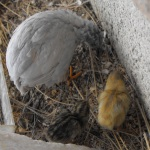 2 baby quails