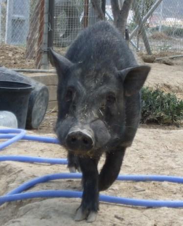 Bullet the boar