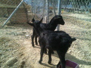 Molly and Lolly our black goats