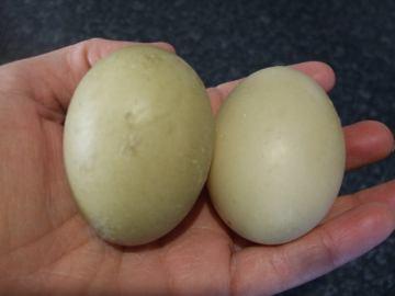 Muscovy Eggs