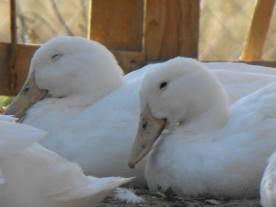 Our Aylesbury ducks