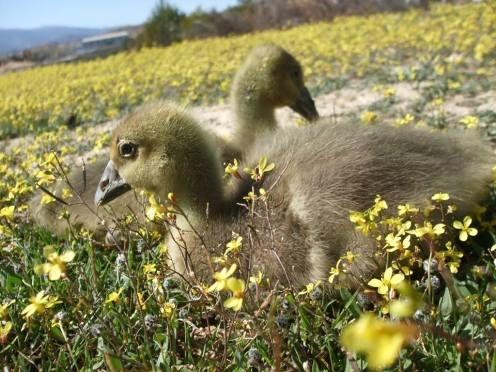 baby goslings in wild flowers