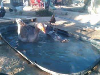 Nanny goose with ducks