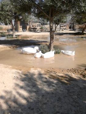 ducks in irrigation
